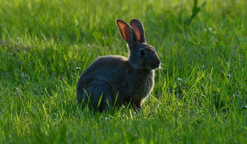 An Image of Rabbit Animal for Dealing With Fleas on Furbearer Hides