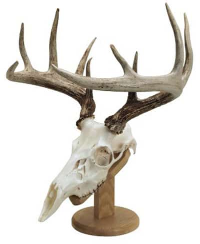 European Skull Mount Mounting the Skull Sample - Consumer Files