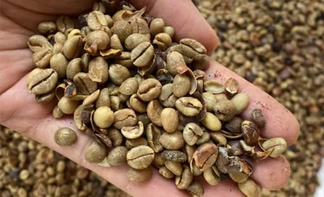 Excelsa (Coffee liberica var. dewevrei) for our Different Varieties of Coffee
